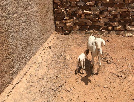 chèvres2-min